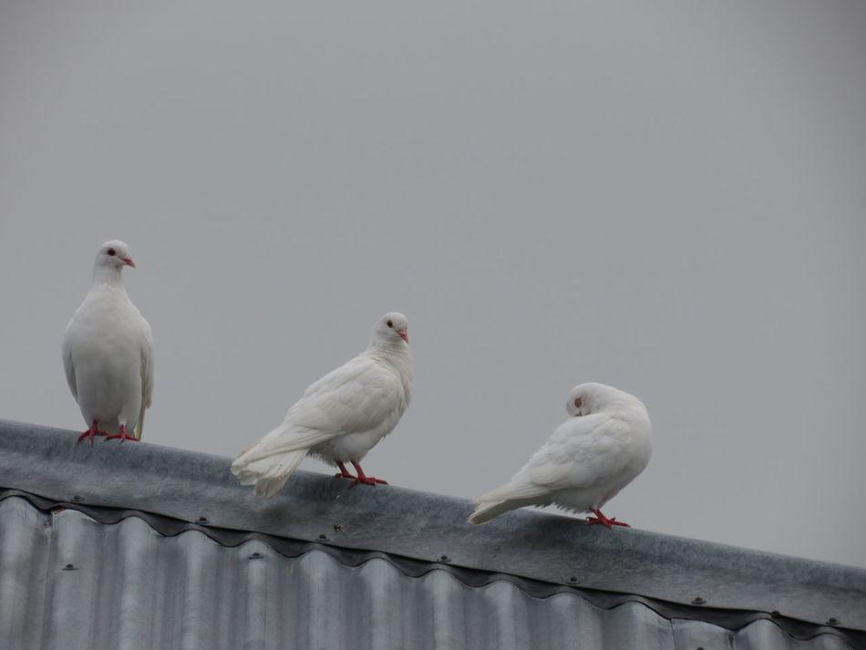 Beautiful stock photos of friedenstaube, bird, mourning dove, perching, animals in the wild