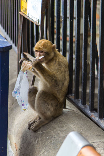 Eating Eating Trash Junk Food Macaque Macaque Monkey Monkey Monkey In Town Monkeys Nature Primate Showcase March Sitting Adapted To The City