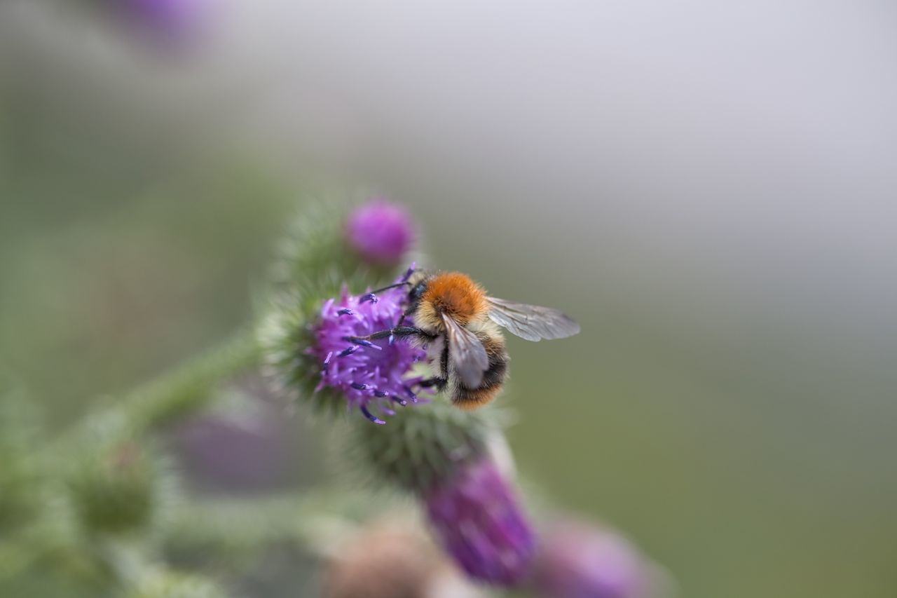 flower, one animal, insect, animals in the wild, nature, purple, animal themes, fragility, beauty in nature, selective focus, bee, pollination, plant, animal wildlife, growth, petal, close-up, no people, day, outdoors, freshness, bumblebee, flower head, thistle, buzzing