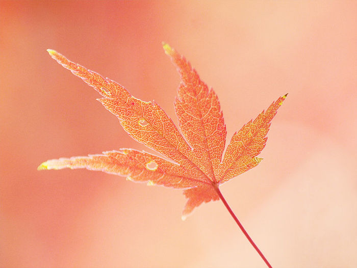 EyeEmNewHere Leaf 🍂 Red Autumn Beauty In Nature Bokeh Bokeh Photography Change Leaf Maple Nature No People Outdoors