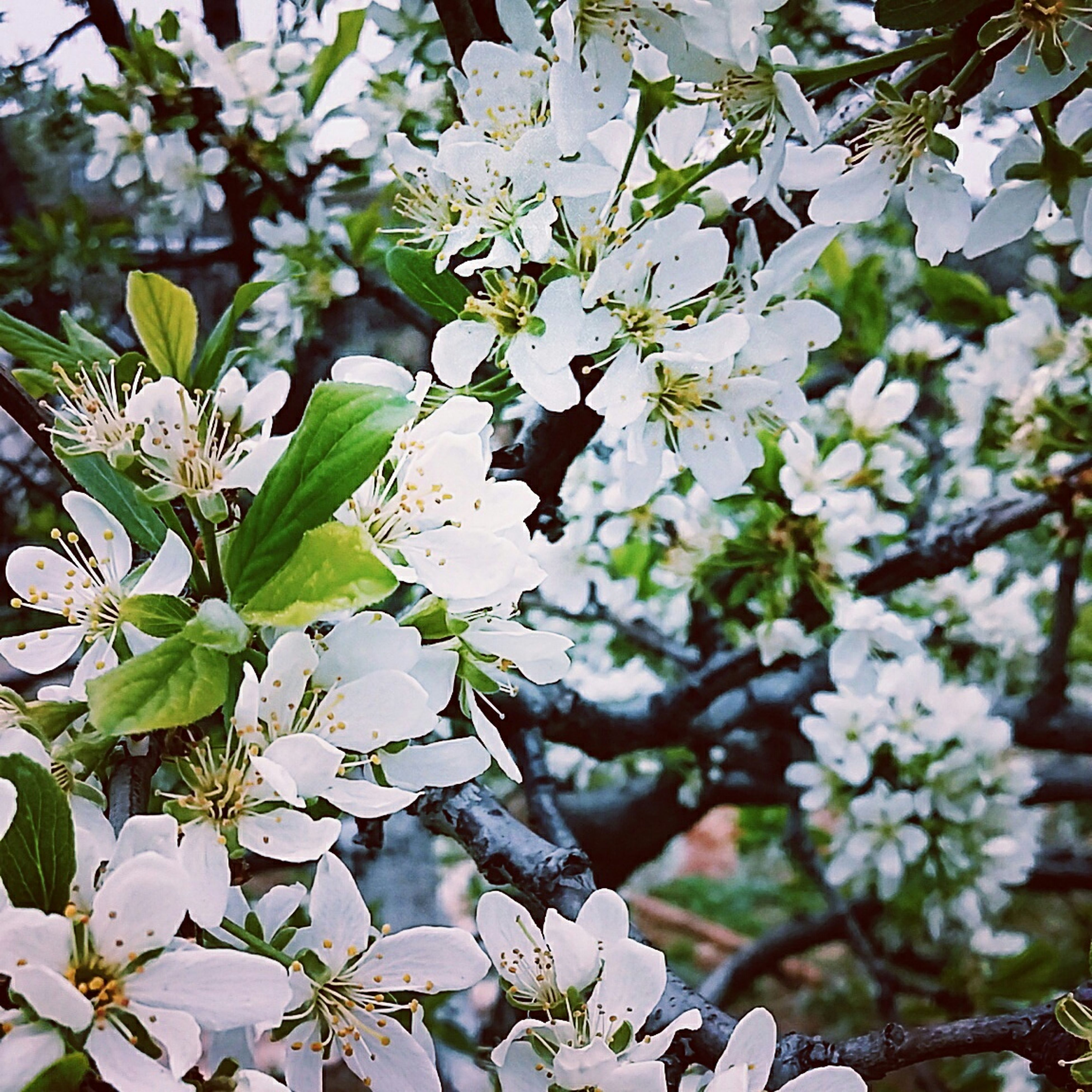 branch, growth, leaf, tree, nature, white color, beauty in nature, focus on foreground, flower, plant, close-up, low angle view, twig, day, freshness, outdoors, no people, green color, fragility, tranquility