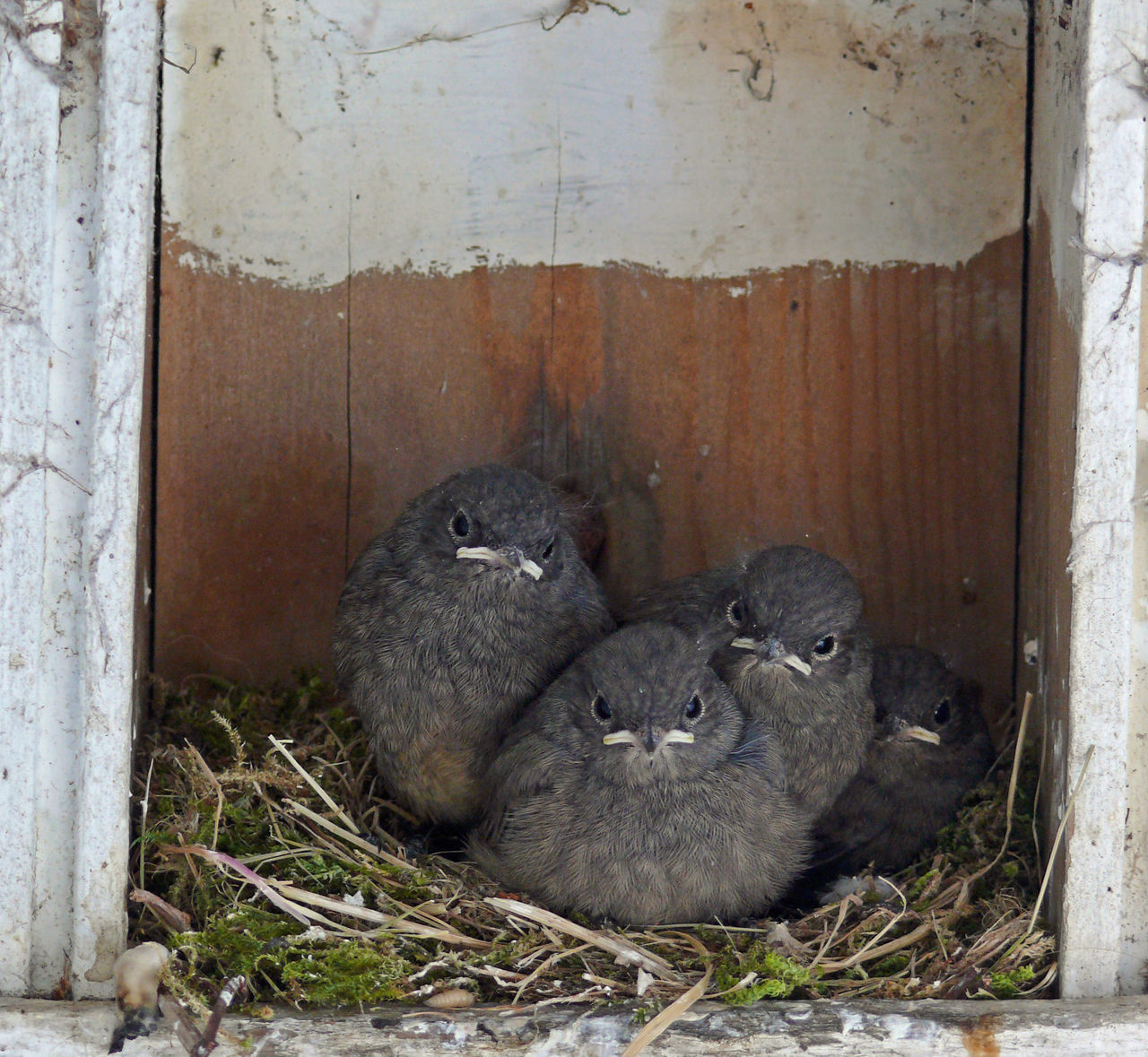 Animal Themes Animals In The Wild Bird Bruthöhle Close Up Close-up Dirty Nest Nestlinge Nestlings Nistkasten No People One Animal Rotkehlchen Vogelkind Vogelkunde Wildlife