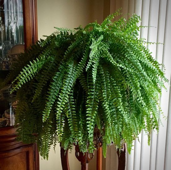 Boston Fern Beauty In Nature Boston Fern Close-up Day Fern Freshness Green Green Color Growing Growth High Angle View Indoors  Leaf Nature No People Plant Potted Plant Sunlight