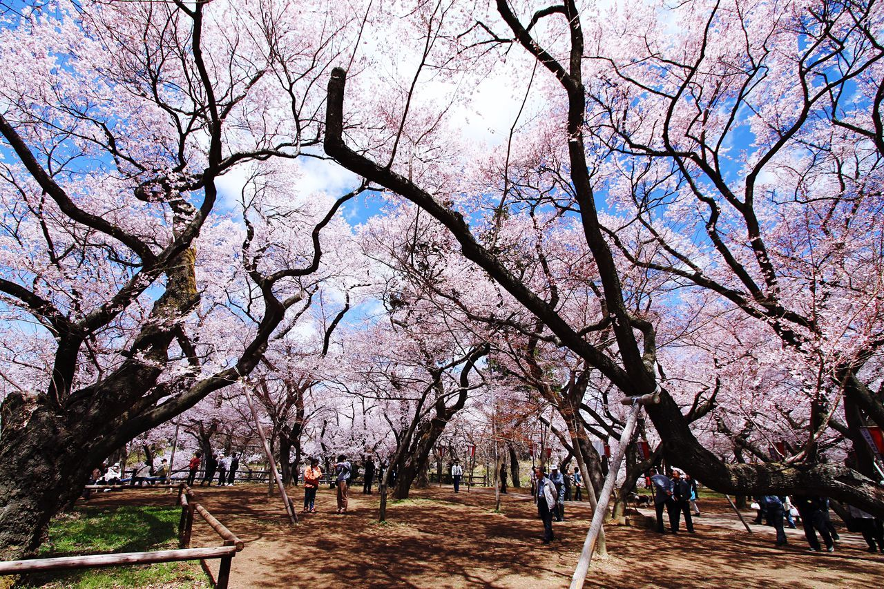 Japan Nagano Ina Takato Park Photography Flowers Cherry Blossoms Spring