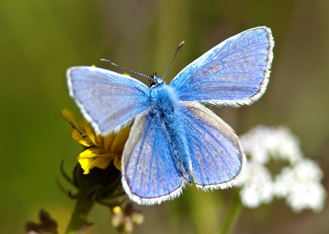 One Animal Animals In The Wild Insect Animal Themes Wildlife Close-up Flower Focus On Foreground Butterfly - Insect Beauty In Nature Fragility Blue Petal Plant Pollination Nature Butterfly Growth Freshness Selective Focus Arthropod Common Blue Butterfly No People Wales Nature
