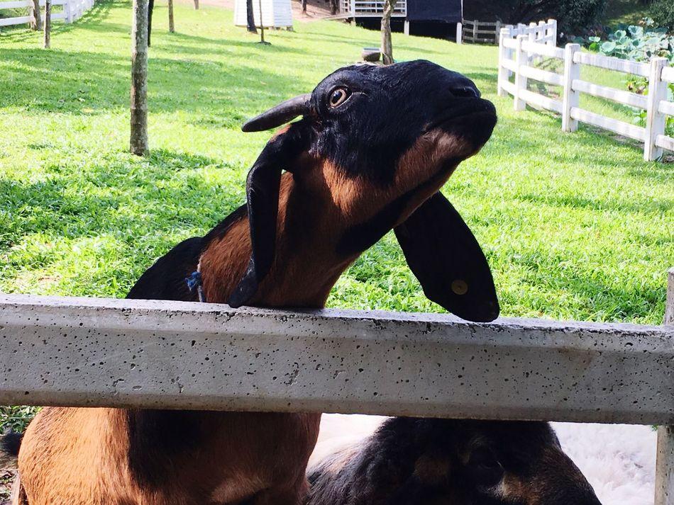 Goat Maerim Chaingmaithailand Snowbuff Coffee เชียงใหม่ แม่ริม Animal