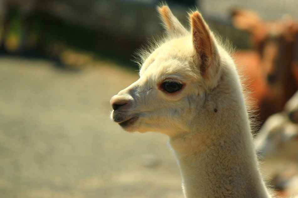 Beautiful stock photos of llama, Animal Themes, Close-Up, Day, Lama