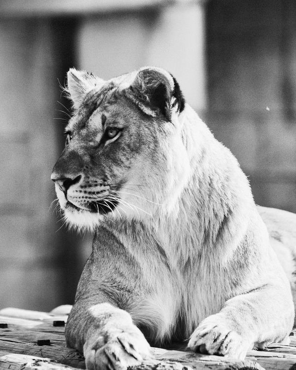 Zoo De La Palmyre EyeEm Gallery Animals Lion Eye4photography  Check This Out Photography