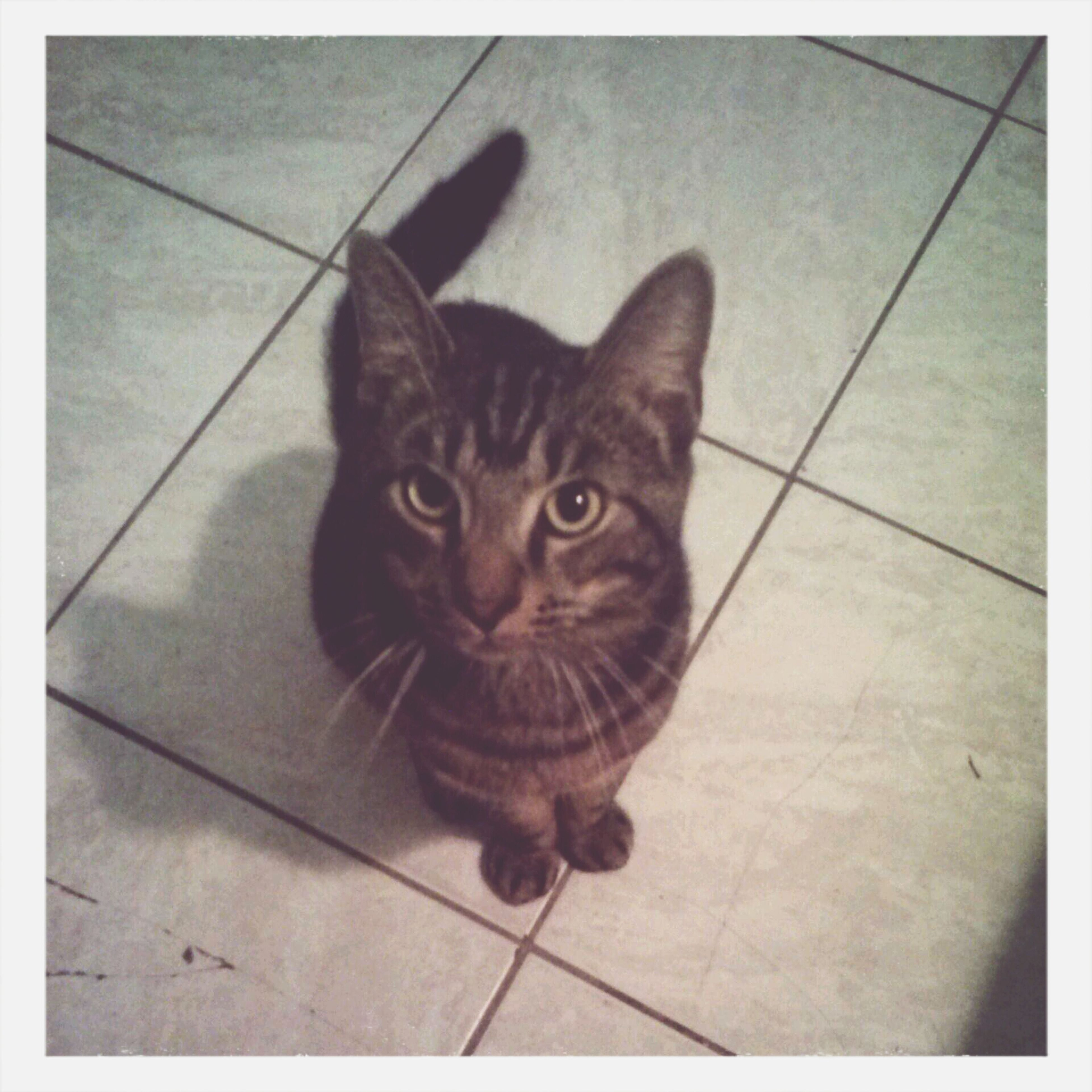 pets, animal themes, domestic cat, one animal, domestic animals, cat, mammal, transfer print, feline, indoors, looking at camera, portrait, high angle view, auto post production filter, tiled floor, whisker, flooring, sitting, staring, alertness