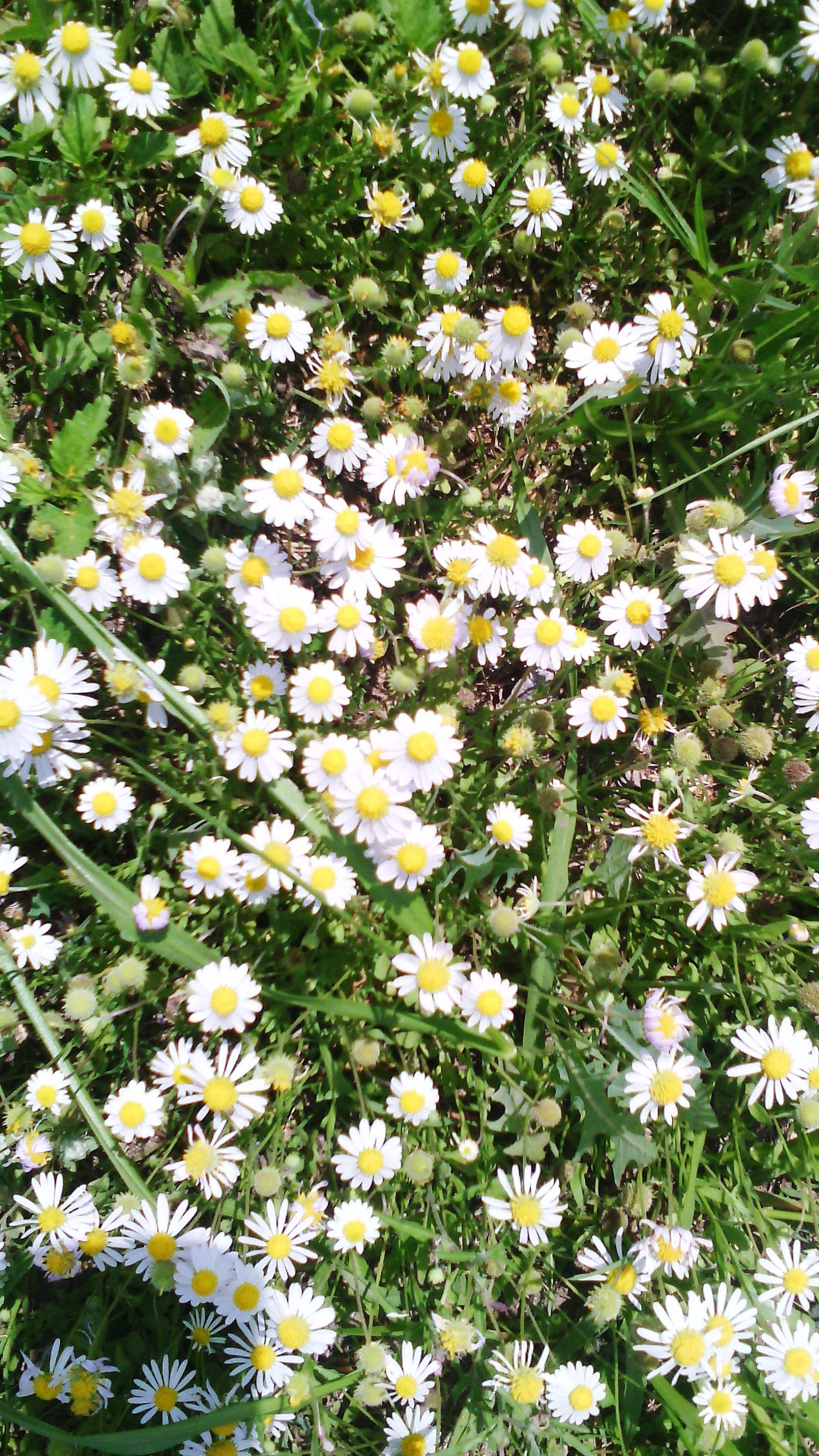 flower, freshness, growth, white color, fragility, petal, daisy, beauty in nature, nature, flower head, high angle view, plant, blooming, full frame, field, backgrounds, white, green color, in bloom, blossom