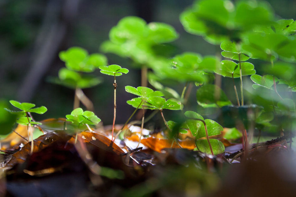 Beautiful stock photos of st patricks day, Beauty In Nature, Clover, Day, Forest