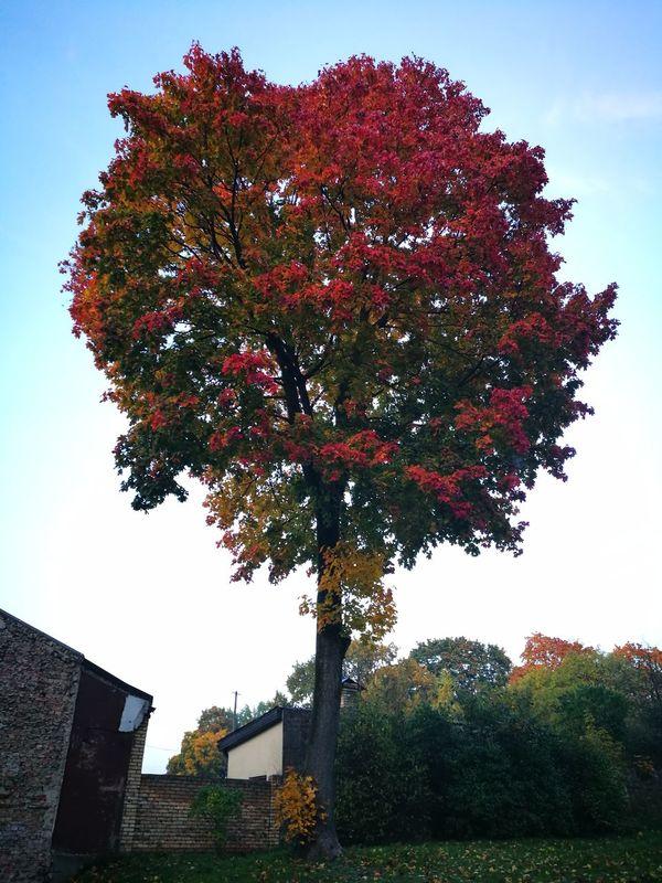 Red tree Tree Outdoors Nature Orange Leaves Autumn🍁🍁🍁