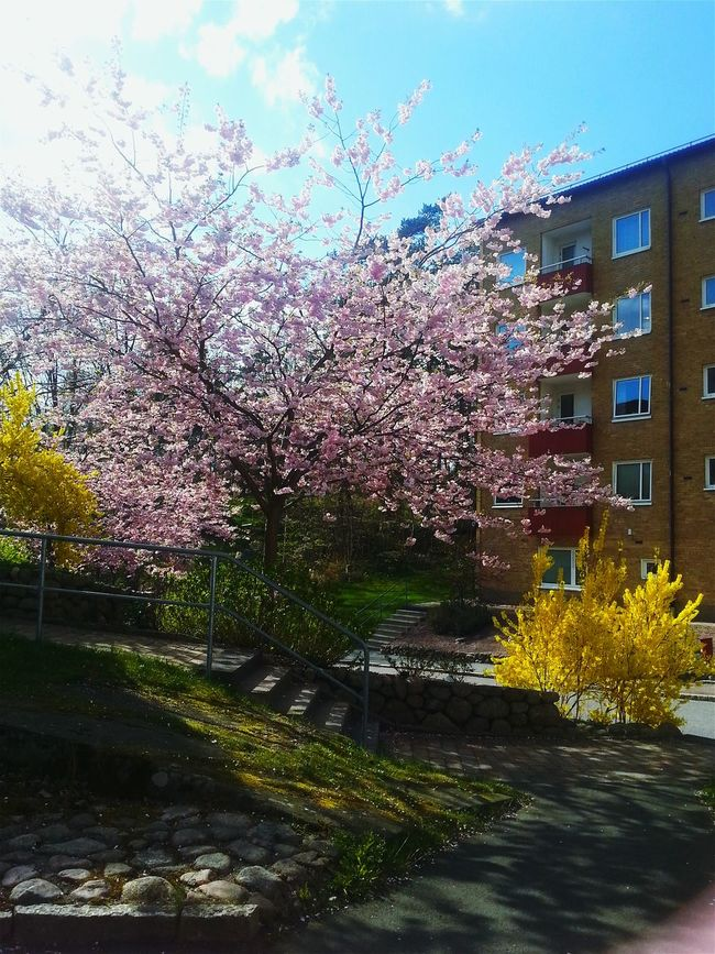 My Country In A Photo Spring In Sweden In Bloom My Neighbourhood Blue Sky Tree And Bushes Yellow Brick Building Yellow And Pink Flowers Getty Image-collection