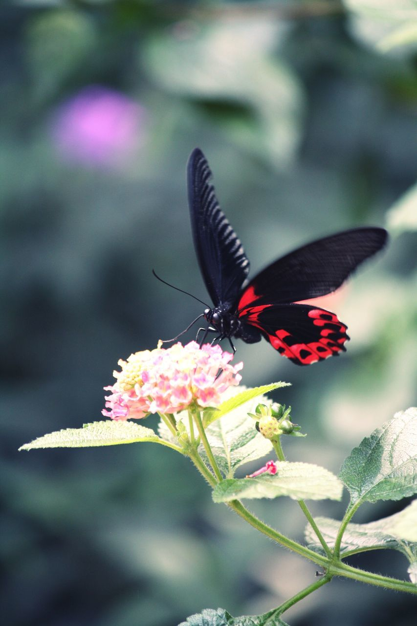insect, one animal, animals in the wild, animal themes, flower, nature, fragility, freshness, butterfly - insect, beauty in nature, plant, outdoors, petal, animal wildlife, no people, growth, day, close-up, focus on foreground, butterfly, pollination, flower head, zinnia, spread wings