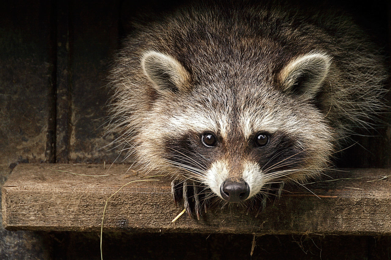 Beautiful stock photos of raccoon, Aachen, Animal Themes, Animal Wildlife, Animals In The Wild