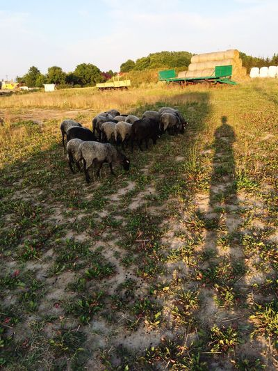 Shepherd Sheeps Amazing View Poland Polish_town Town Beautiful