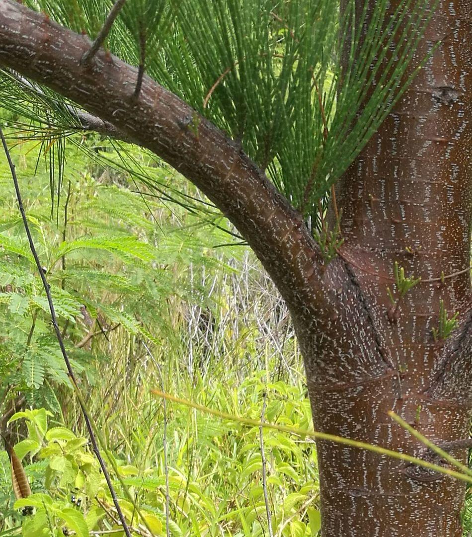 Pine Tree Branch Grassfield
