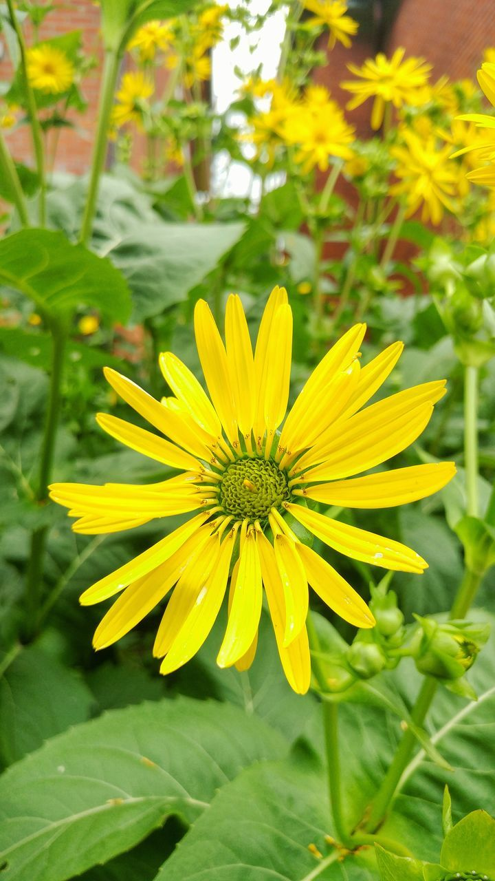 flower, yellow, fragility, petal, growth, plant, nature, beauty in nature, freshness, flower head, blooming, no people, leaf, close-up, day, outdoors, springtime