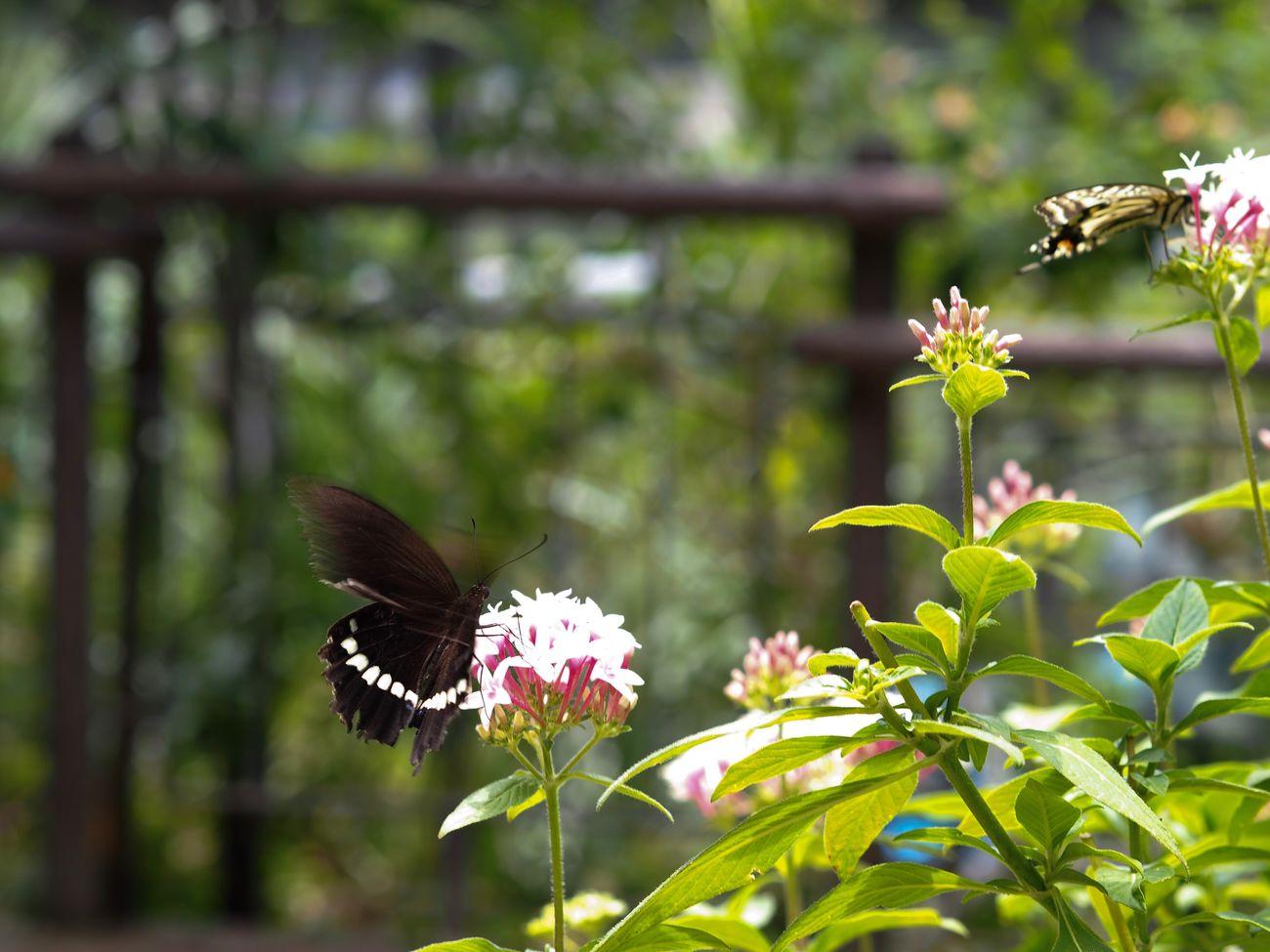 というわけで、ND使わずにシャッタースピードを遅くするために、+1.3露出補正するという、露出補正の間違った使い方をした写真。ちなみにF4.5、シャッタースピード1/60秒。 Butterfly - Insect Butterfly Flower Fragility Freshness Animal Themes Plant Petal Day Flower Head No People Leaf Olympus OM-D E-M5 Mk.II