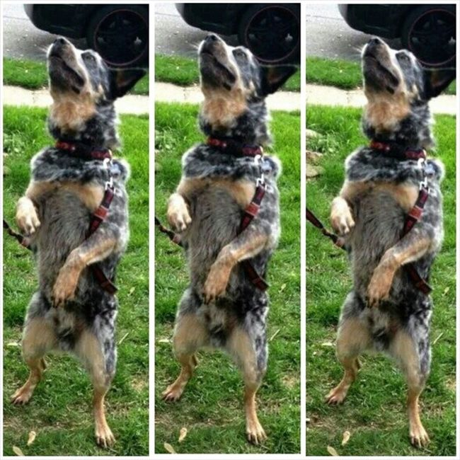 Dogdance ACD  Blueheeler