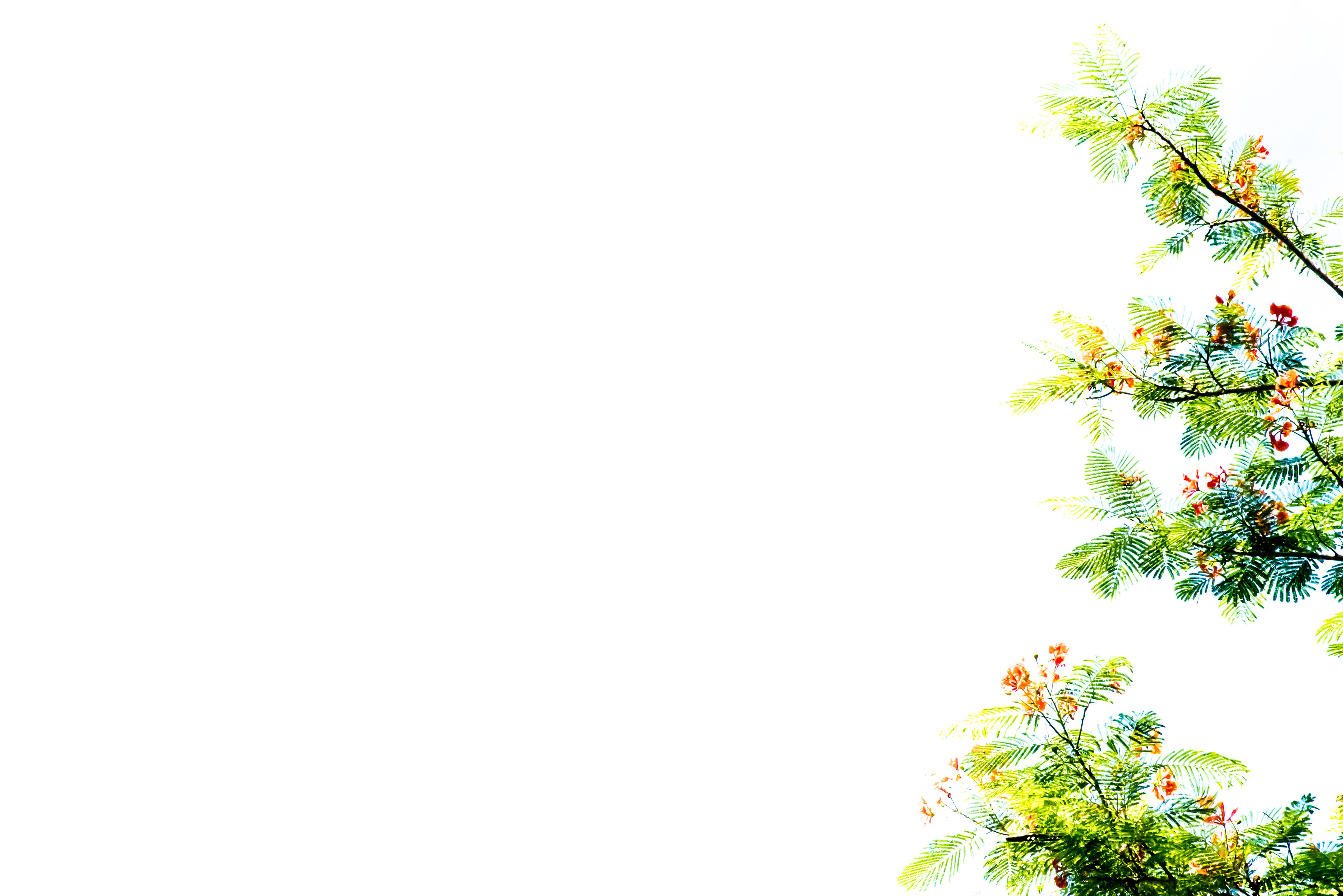 growth, copy space, tree, flower, nature, plant, clear sky, white background, leaf, branch, no people, beauty in nature, freshness, outdoors, day
