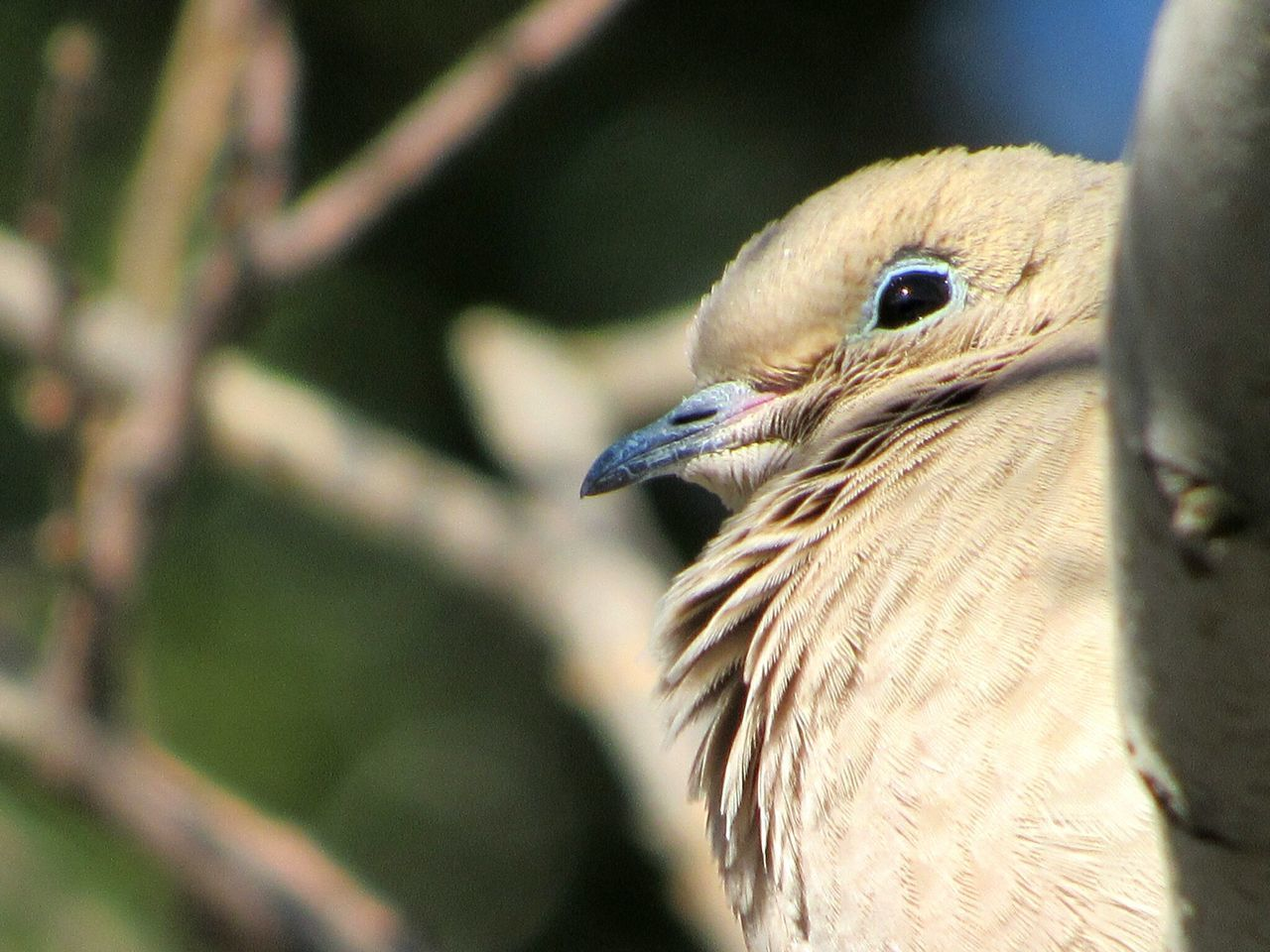 Mourning Dove In Tree Bird One Animal Animal Themes Animals In The Wild Animal Wildlife Close-up Outdoors Animal Body Part No People Day Beak Nature Branches And Sky