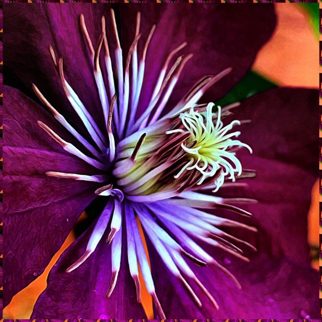 Enjoying a little leftover beauty from summer. Flower Fragility Petal Flower Head Beauty In Nature Close-up Plant In Bloom Stamen Purple Vibrant Color Clematis Nature Clematis Flower PNW
