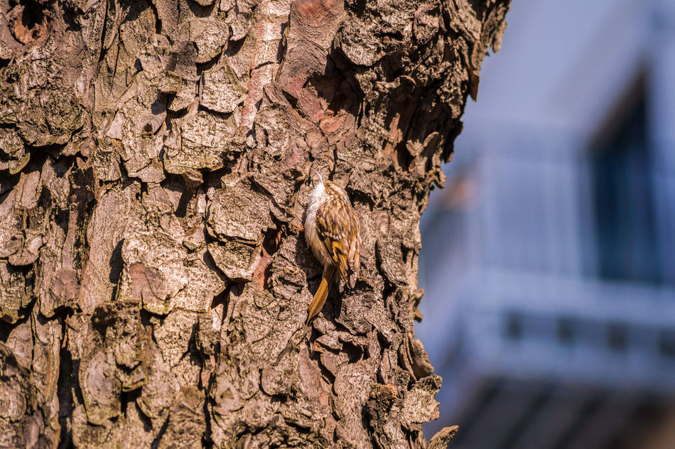 Climbing Treecreeper Animals Aves Bark Birds Certhiidae Certhioidea Climbing Close-up Common Little Nature Passeriformes Small Tree Treecreeper Treecreepers Wildlife Wood Wooden