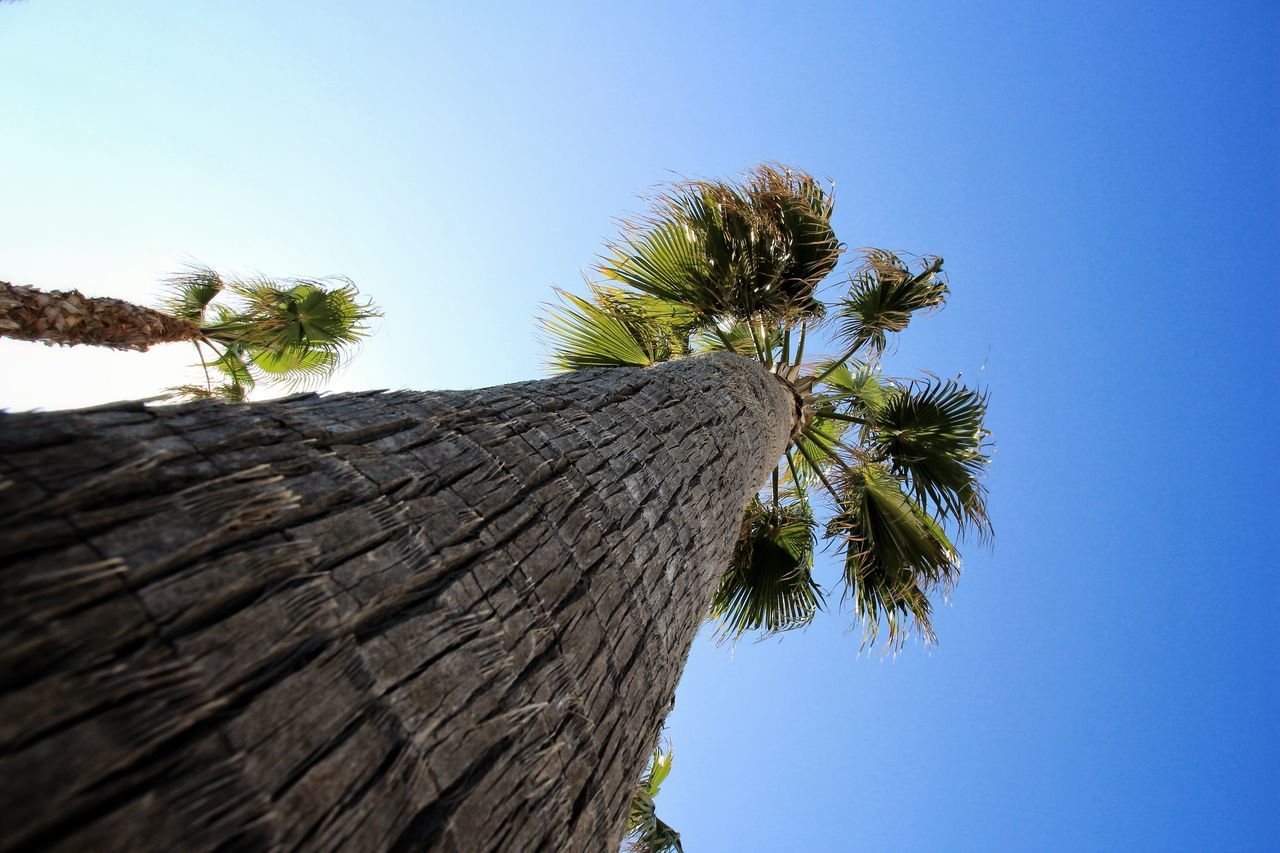 Low Angle View Tree Palm Tree Clear Sky Nature Tree Trunk Sky Beauty In Nature Close-up Palm Tree Palm Trees Palm Palmtree Palmtrees Palm Frond Palms PalmsTrees Palm Fronds Lookingup Looking Up Looking Up At The Sky Palm Tree Trunk Palm Tree And Sky Palm Tree And Blue Sky Blue Sky