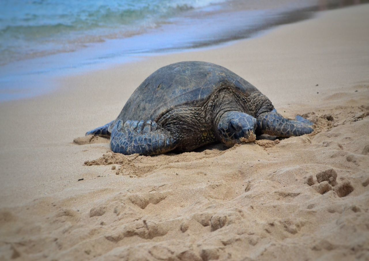 Animal Themes Animals In The Wild One Animal Beach Sand Reptile Nature Animal Wildlife Water Outdoors Sea Turtle Day No People Beauty In Nature Tortoise Turtle BIG Non-urban Scene Sand & Sea Northshore Hawaii Beach Photography Sea Life Animals In The Wild Close-up