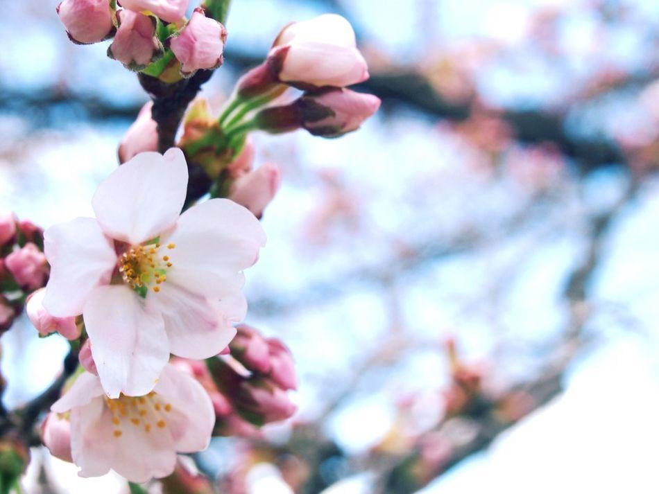 cherry blossoms at ogawara, Miyagi. Cherry Blossoms Pink Spring Miyagi,japan Ogawara