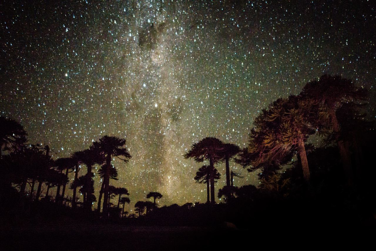 Es un árbol perenne, de hasta 50 m de altura, con tronco recto, cilíndrico, a veces muy grueso (3 o más metros). Es una especie importante dentro de la cultura mapuche, muy especialmente de la etnia pehuenche (mapundungun «gente del pehuén», nombre nativo de esta especie arbórea). Araucania Astronomy Beauty In Nature Constellation Galaxy Milky Way Nature Night No People Outdoors Scenics Science Silhouette Sky Space Space And Astronomy Star - Space Star Field Tranquil Scene Tranquility Tree