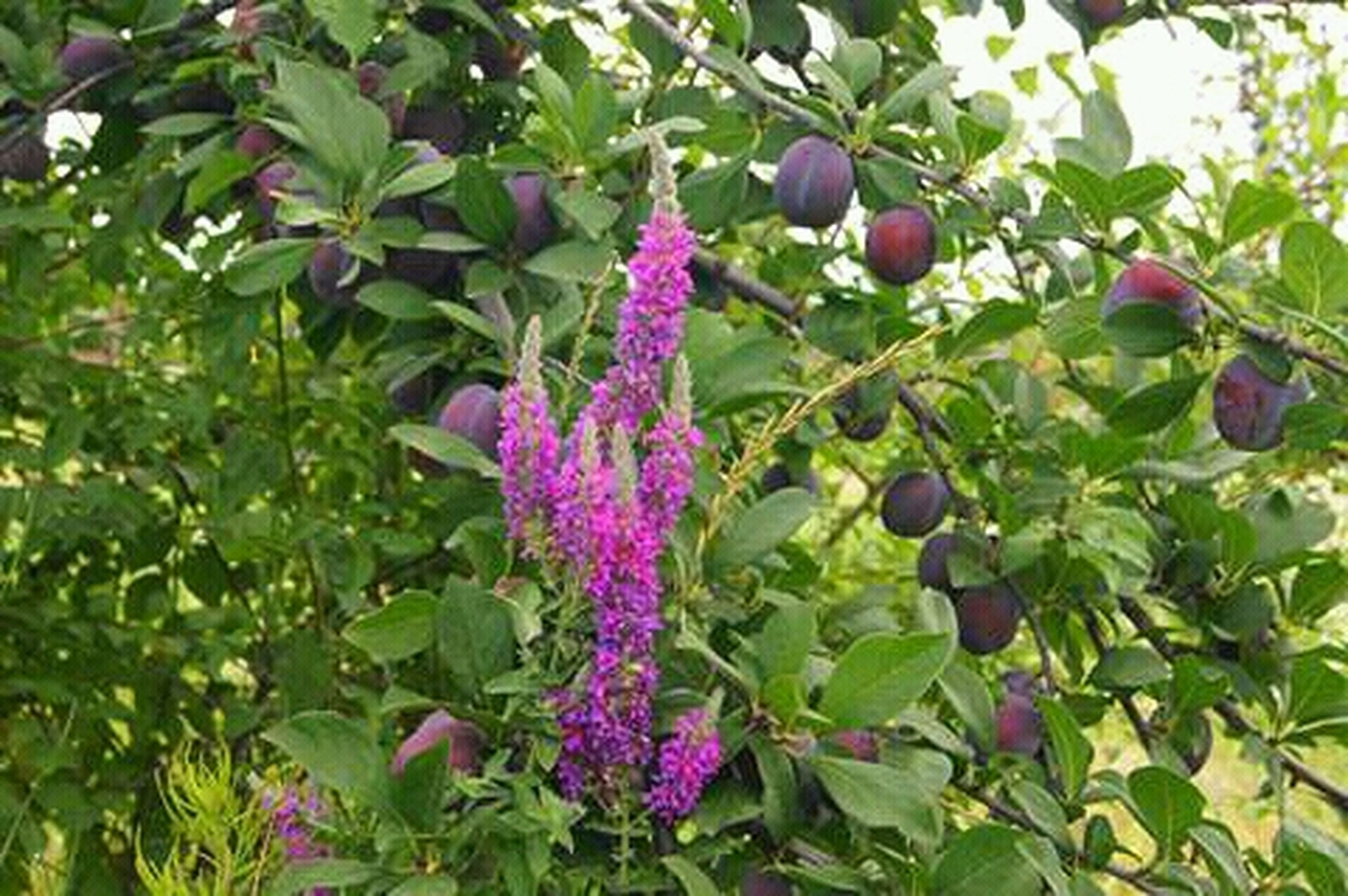 growth, nature, leaf, green color, plant, freshness, outdoors, purple, flower, no people, close-up, beauty in nature, day, tree