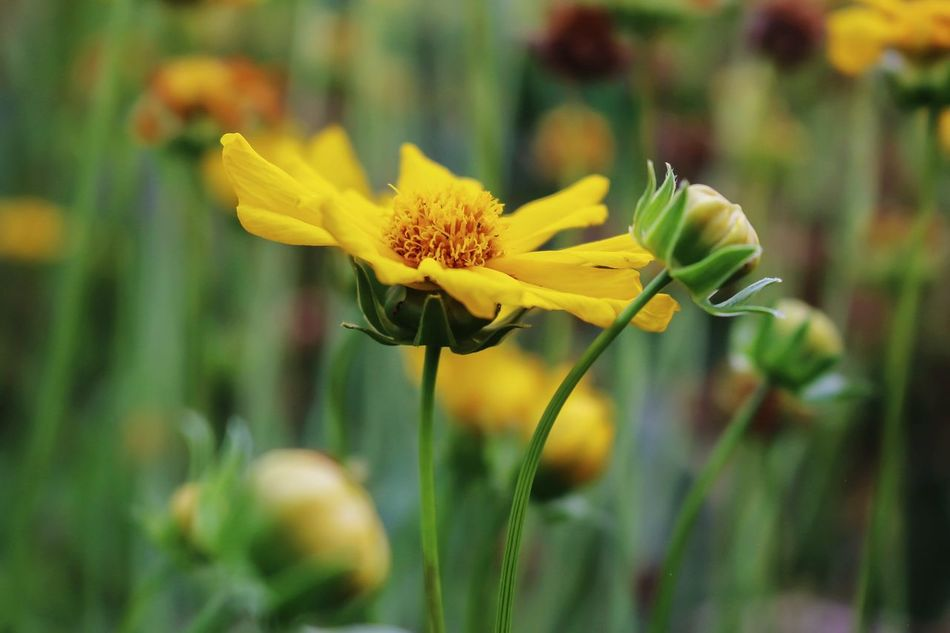 Yellow flowers from the park... Flora Nature Macro Plants Photography Wonderfulindonesia