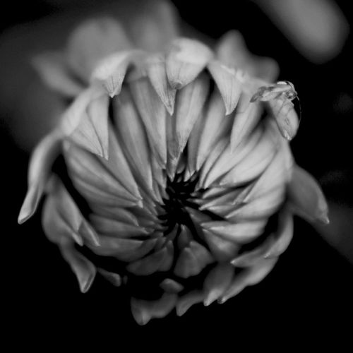 Blackandwhite Black White KF Flower