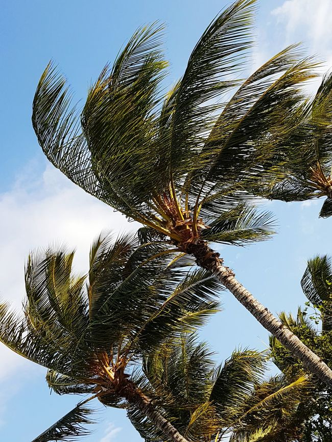 Palms at an angle Low Angle View Growth Tree Leaf Branch Sky Beauty In Nature Nature Scenics Tranquility Green Color Botany Outdoors Day Plant Life Palm Leaf Cloud Blue