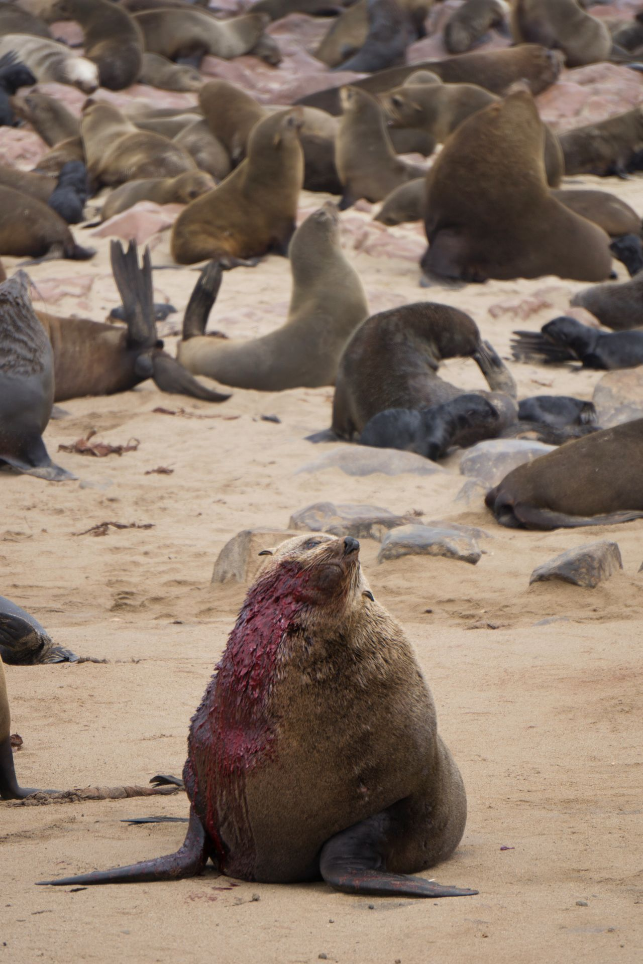 Seal Colony in Namibia Animal Wildlife Mammal Animal Beach Animals In The Wild Sand Nature No People Outdoors Aquatic Mammal Day Animal Themes Close-up Seal Seals On Beach Seals Chilling Seals In The Suns Seals Namibia Seals Playing Pain Hurt Blood Sealsanctuary