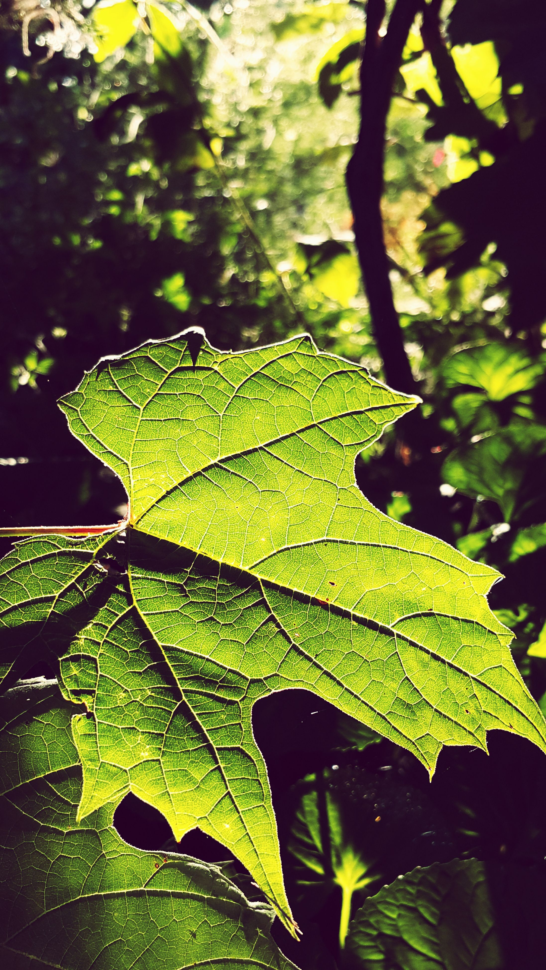 leaf, leaf vein, green color, close-up, growth, leaves, nature, focus on foreground, plant, sunlight, natural pattern, branch, outdoors, beauty in nature, day, no people, one animal, green, selective focus, tranquility