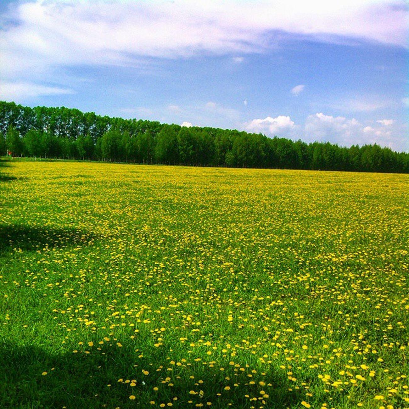 Брэдбери бы вдохновился одуванчики русскоеполе просторы небо небоголубое весна Хорошо красиво облака Солнышко СЧАСТЬЕ милая Россия поле Dandelion Russian Landscape Sun Sunday Countryside Country Beauty Beautiful Sweet Beloved Russia green yellow grass blowball