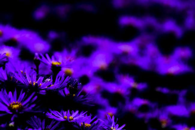 Simply nice Art Beauty In Nature Blossom Blue Bokeh Photography Botany Flower Flower Head Fragility Fresh On Eyeem  Freshness FUJIFILM X-T2 Fujilovers Landesgartenschau 2016 Eutin Nature Selective Focus Softness Vibrant Color