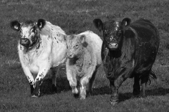 Animal Themes Bnw_friday_eyeemchallenge Cow Farm Life Nature BNW_farm_animals Beauty In Nature EyeEm Diversity
