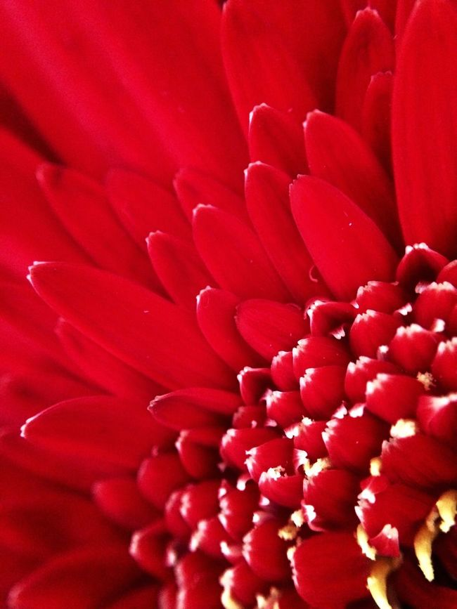 Flowerpower Inmyroom Close-up EyeEm Best Shots - Nature Photooftheday Red April Showcase Macro