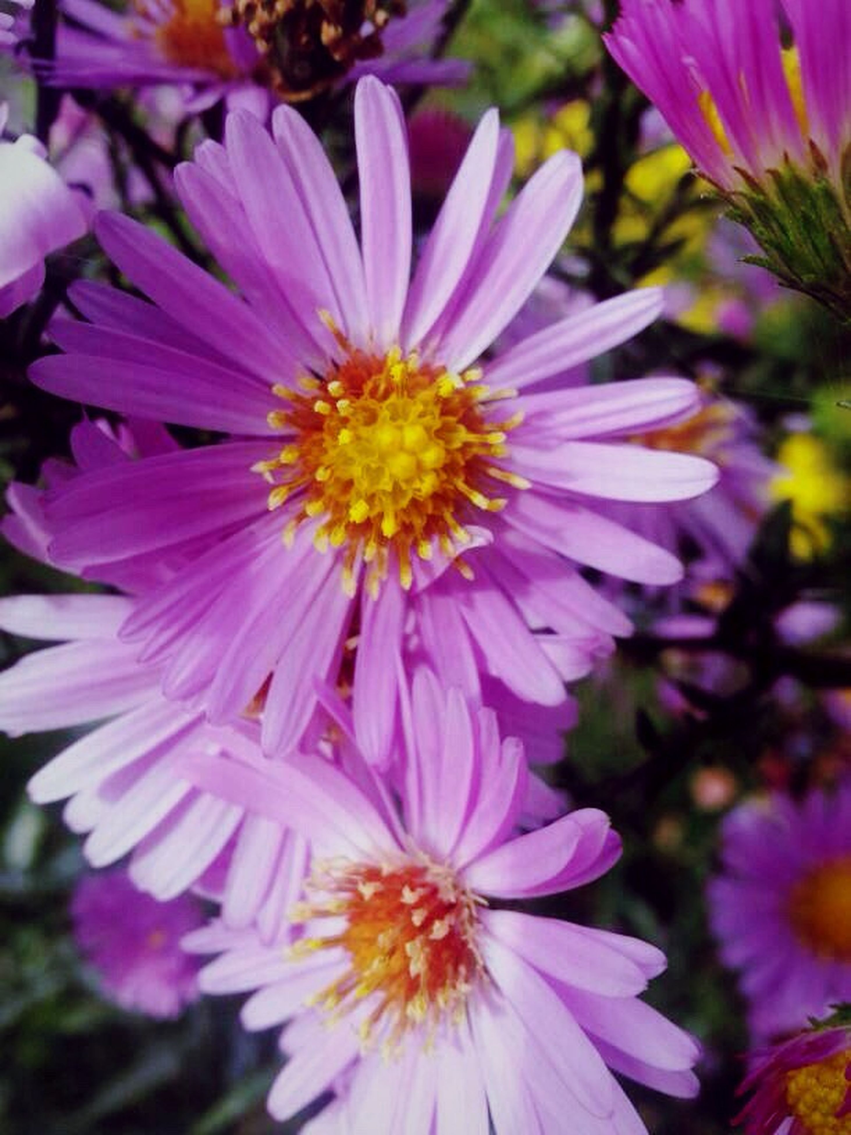flower, freshness, petal, flower head, fragility, growth, beauty in nature, close-up, pollen, blooming, focus on foreground, nature, pink color, purple, plant, in bloom, day, park - man made space, no people, outdoors