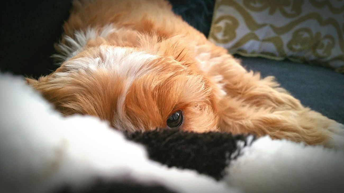 Pets Dog Relaxation Close-up Lying Down One Animal Puppy Puppy Love Puppies Animal Themes Domestic Animals Puppylife Puppyeyes Puppy Eyes Puppy❤ PuppyLove