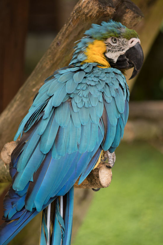 Macaw - Parrot Animal Head  Animal Themes Beak Beauty In Nature Bird Blue Close-up Day Focus On Foreground Gold And Blue Macaw Macaw Multi Colored No People One Animal Parrot Perching Zoology