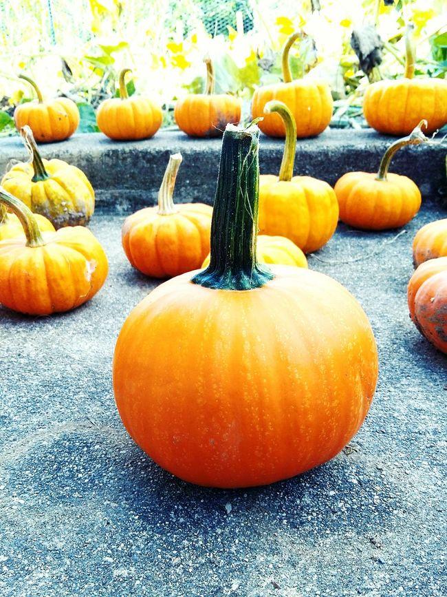 Fall Orange Pumpkins Harvest Little Pumpkins Autumn Fall Time