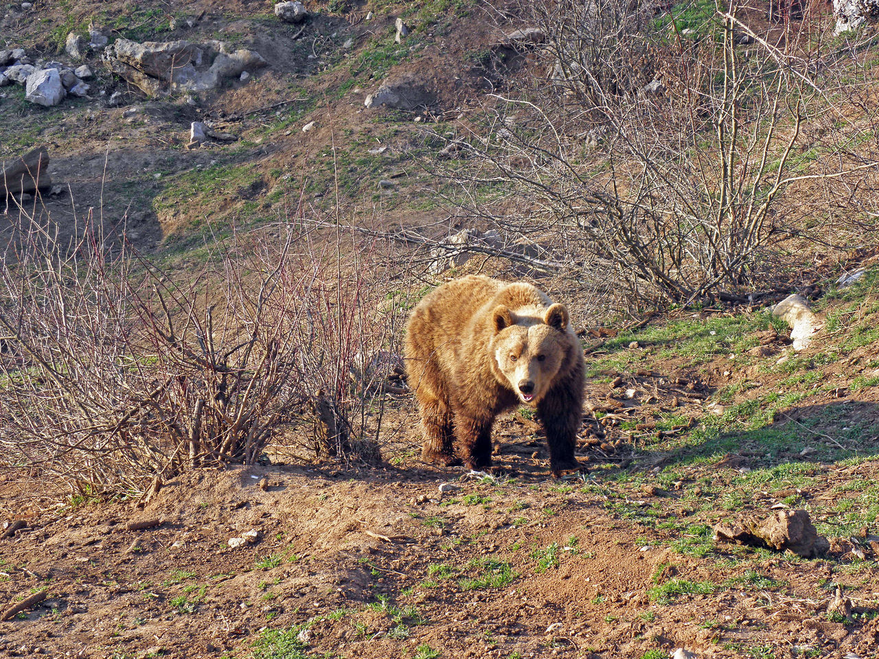 Kuterevo,Lika,Croatia,Europe,refugee camp for young bears,4 Animal Themes Animals Bear Croatia Eu Europe Field Kuterevo Lika Mammal Nature Outdoors Refugee Camp Refugee Center Springtime Young Bear Zoology