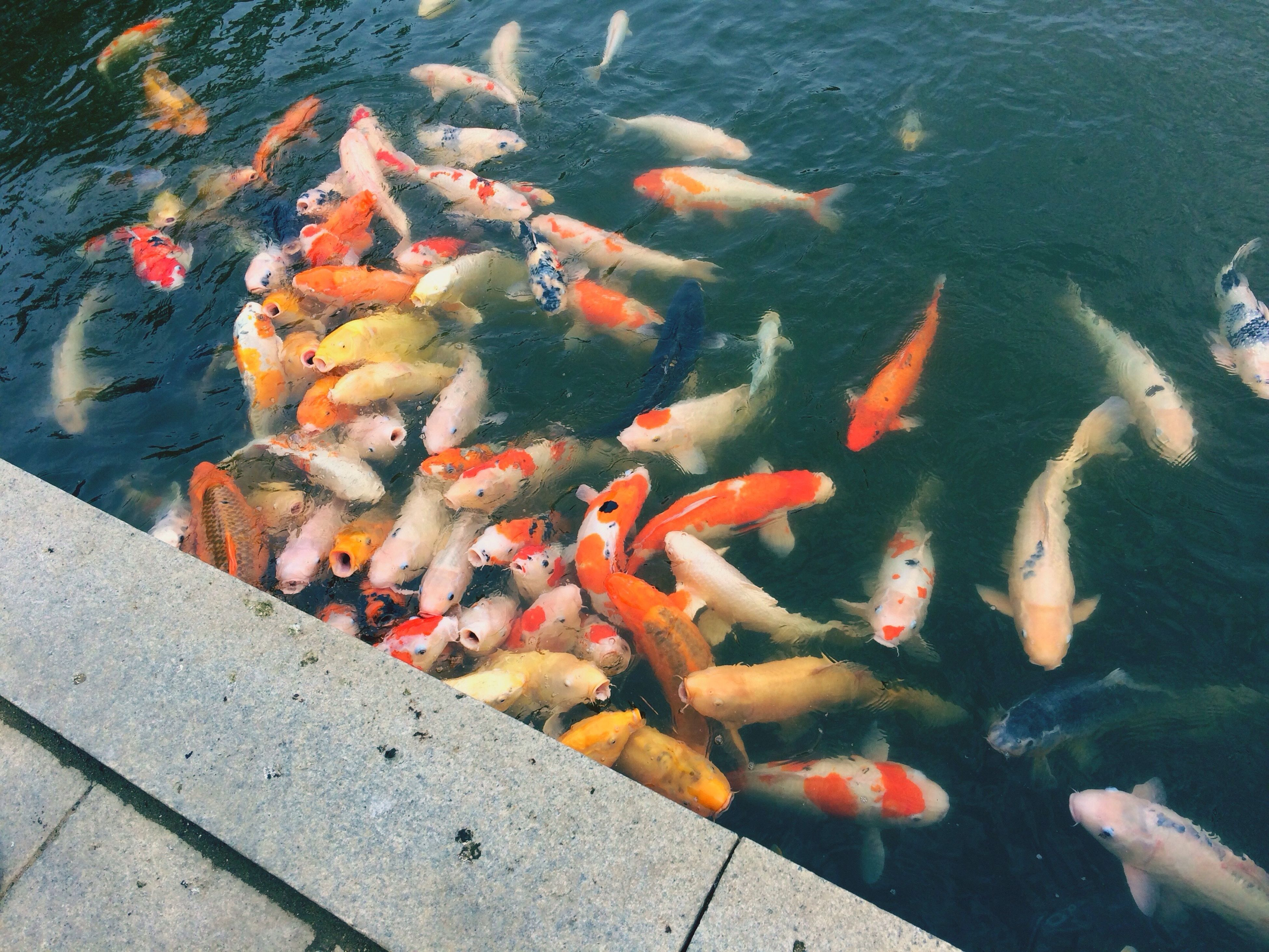 fish, large group of animals, animal themes, water, swimming, school of fish, carp, koi carp, multi colored, sea life, animals in the wild, group of animals, day, nature, close-up, no people, outdoors