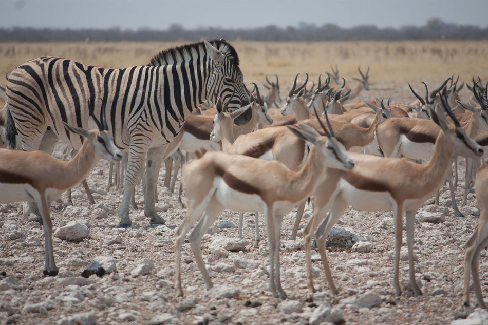 Beautiful stock photos of zebra, Animals In The Wild, Antelope, Arid Climate, Beauty In Nature