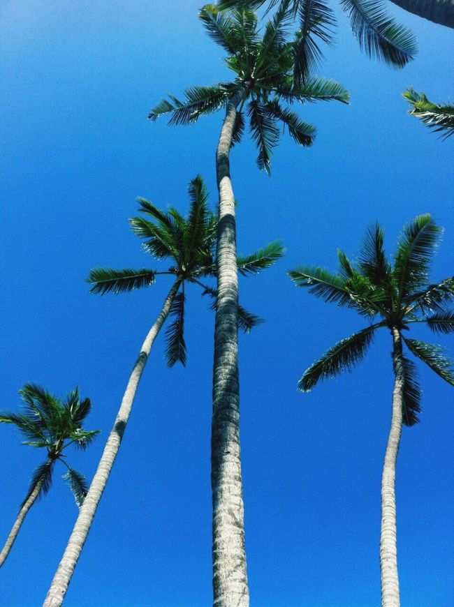 Palm trees reach up to a perfect blue Bali sky. Palm Tree Tree Blue Clear Sky Tall Beauty In Nature Blue Sky Blue Sky And Trees Blue Sky Memories Blue Sky No Clouds Palm Trees Perfect Sky Perfect Skyline Perfect Holiday Clear Blue Sky Clear Blue Clear Blue Skies Color Palette Color Palette